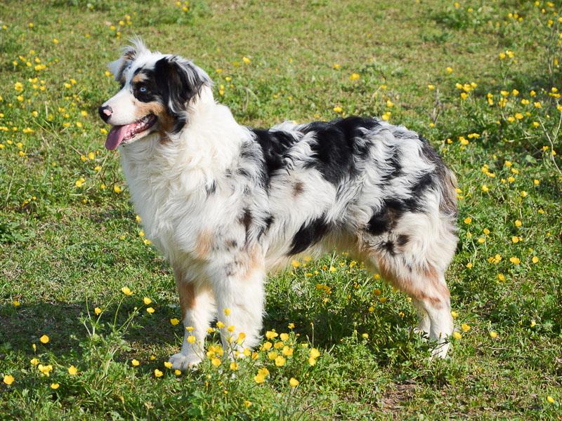 Australischer Schäferhund Aussie - Hunde123.de
