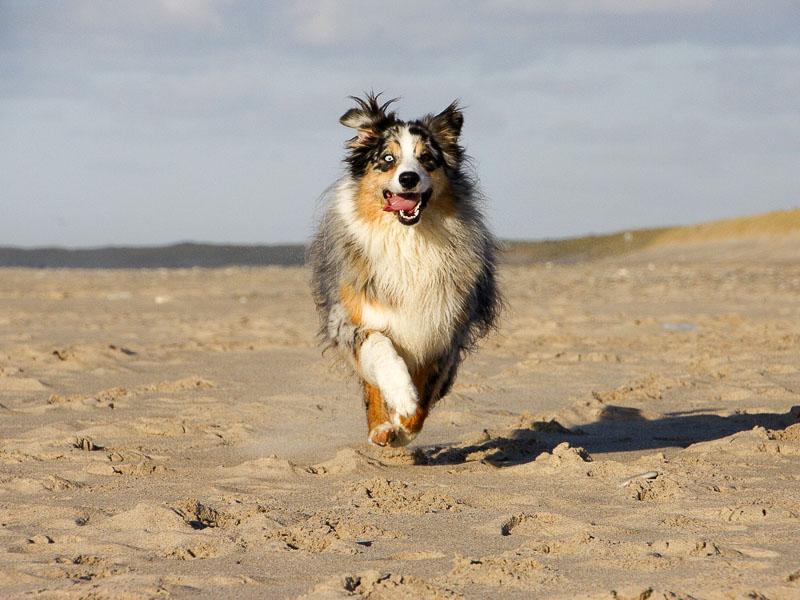 Australian Shepherd training - Hunde123.de