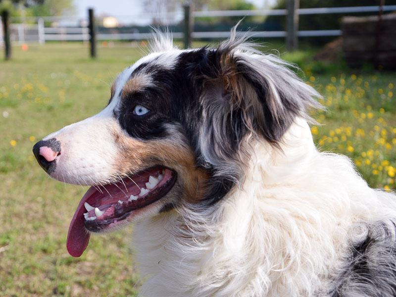 black tri Australian Shepherd - Hunde123.de