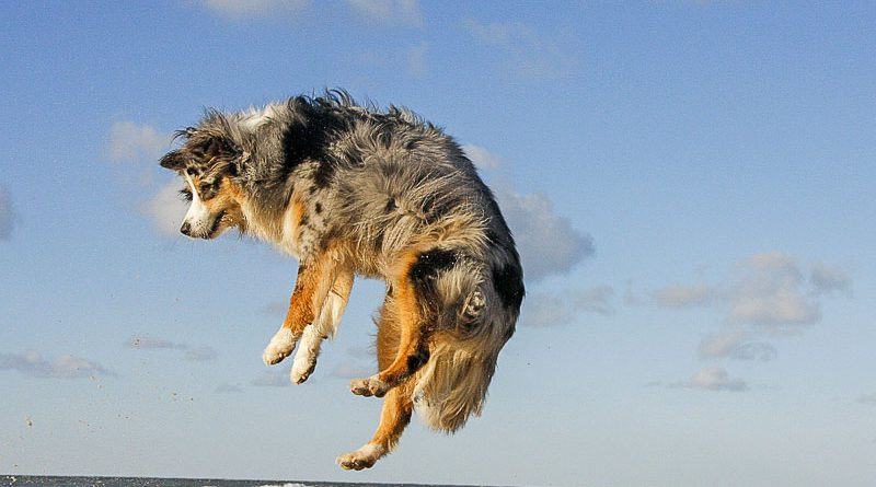 Australian Shepherd Hunderasse Profil Info - hunde123.de
