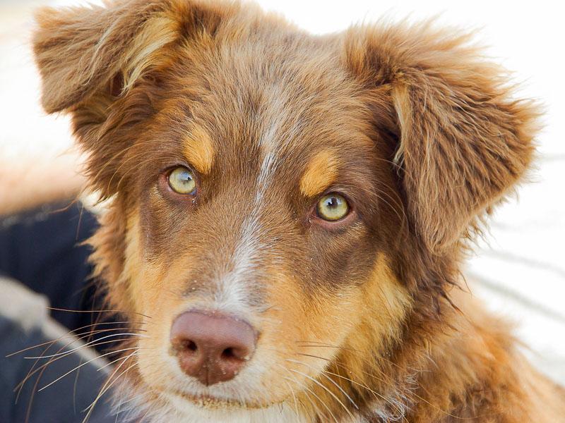 Australian Shepherd red merle zucht welpen - Hunde123.de