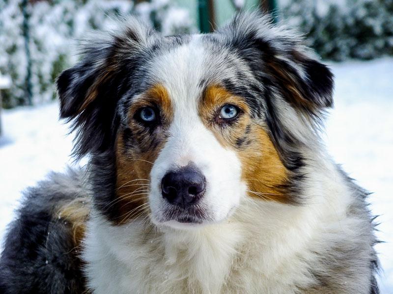Australian Shepherd Aussie Hunderasse Kaufen- Hunde123.de