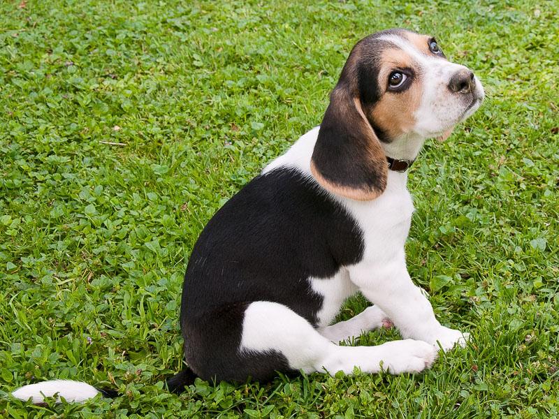 Beagle Welpe preis züchter - Hunde123.de