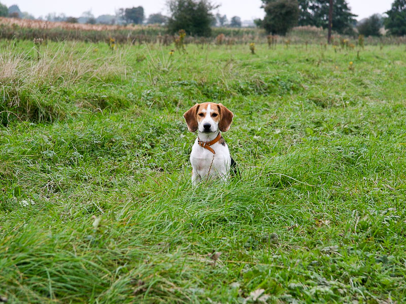 Beagle Auslauf Bilder - Hunde123.de