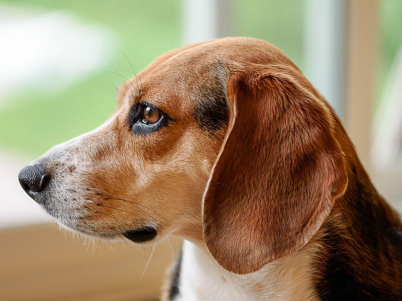 beagle ausgewachsen preis - Hunde123.de