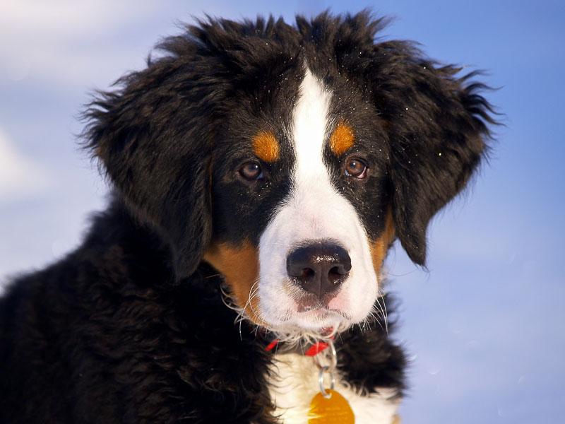 Berner Sennenhund Gewicht : berner sennenhund hunderassenprofil mit bildern ~ Markanthonyermac.com Haus und Dekorationen