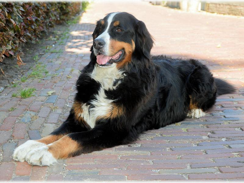 Berner Sennenhund Charakter Bilder - Hunde123