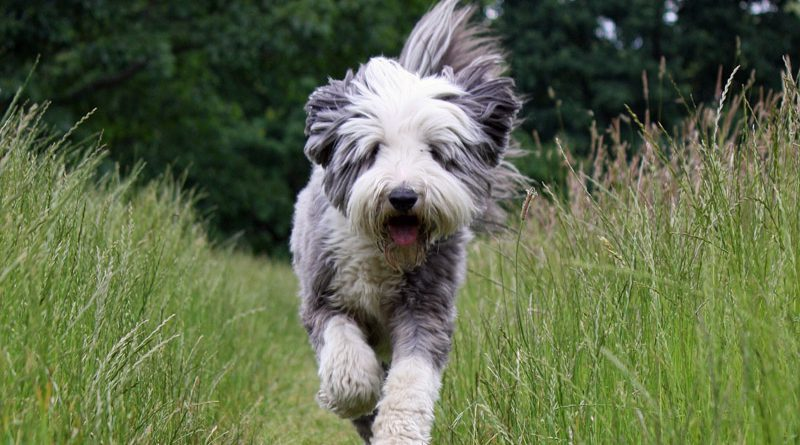 Hunderasse Bobtail Information kaufen - Hunde123.de