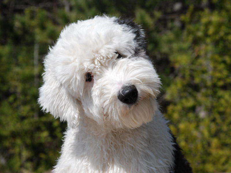 Bobtail Krankheiten Lebenserwartung - Hunde123.de Hunderassen