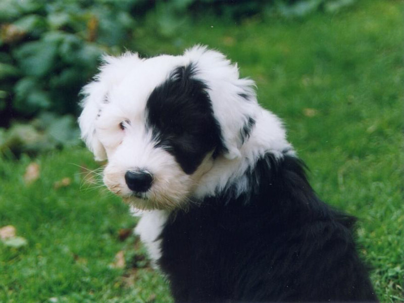 Old English Sheepdog Haltung Welpe - Hunde123.de Hunderassen