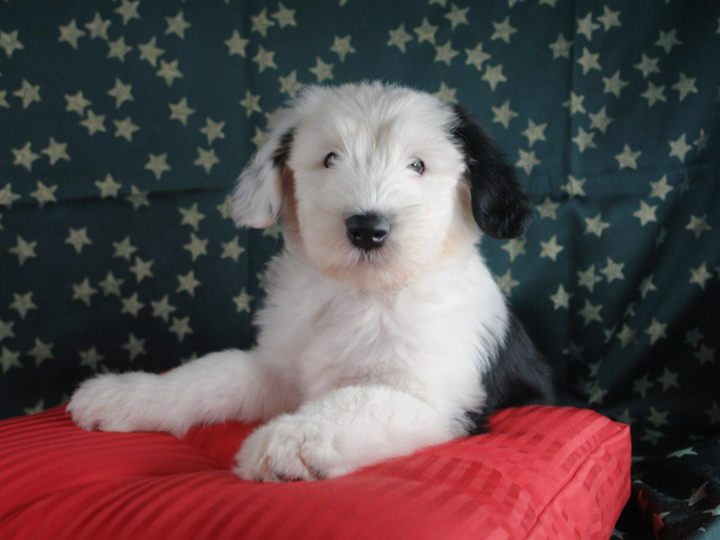 Old English Sheepdog Bobtail Welpen - Hunde123.de Hunderassen