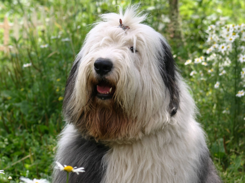 Bobtail auslauf pflege - Hunde123.de Hunderassen
