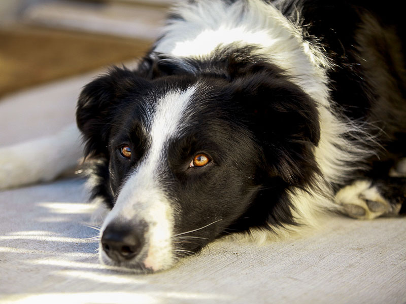 Border Collie hunderassen erziehung - hunde123.de