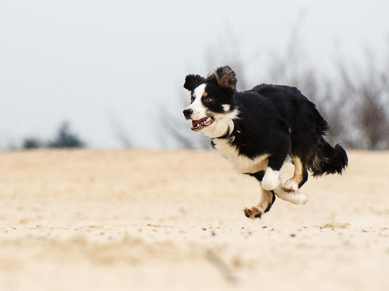 Border Collie Hundesport auslauf- Hunde123.de