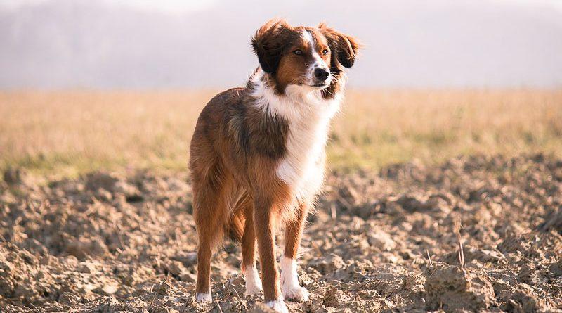 Border Collie Braun größe zucht- Hunde123.de