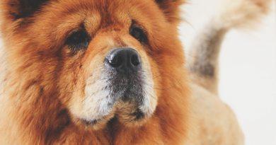 chow chow hund kaufen - Hunde123.de