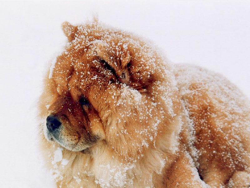 Chow-Chow bilder größe - Hunde123.de