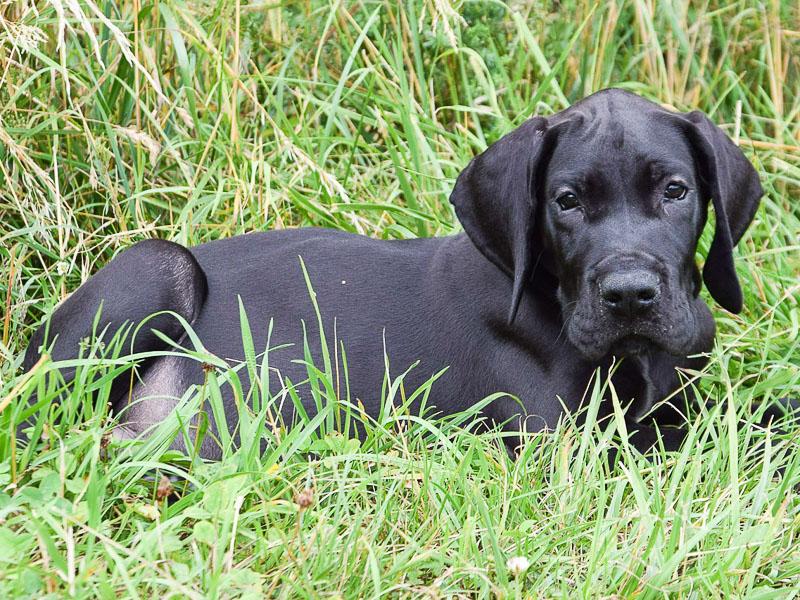 Deutsche Dogge Welpen kaufen lebenserwartung - Hunde123.de Hunderassen