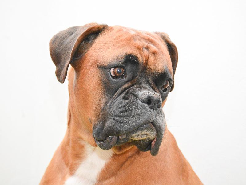 Deutscher Boxer haltung wesen - Hunde123.de Hunderassen