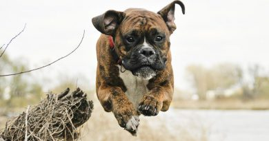 Deutscher Boxer- Hunde123.de Hunderasse
