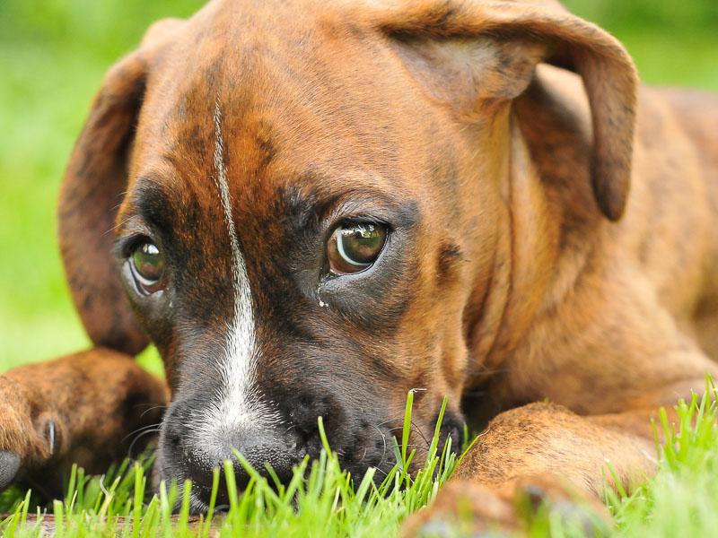 Deutscher boxer welpe züchter - Hunde123.de Hunderassen