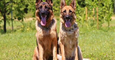 Deutscher Schäferhund kurzhaar wesen profil - Hunde123.de Hunderassen