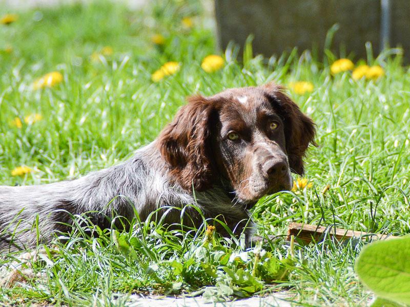 Deutscher Wachtelhund kaufen info Charakter - Hunde123.de Hunderassen