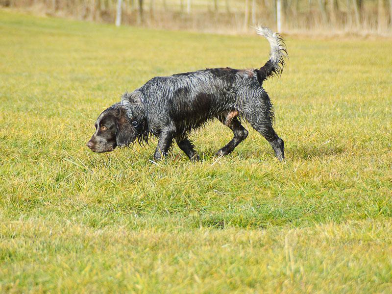 Deutscher Wachtelhund Jagdhund wesen bilder - Hunde123.de Hunderassen