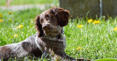 Deutscher Wachtelhund wesen bilder - Hunde123.de Hunderassen