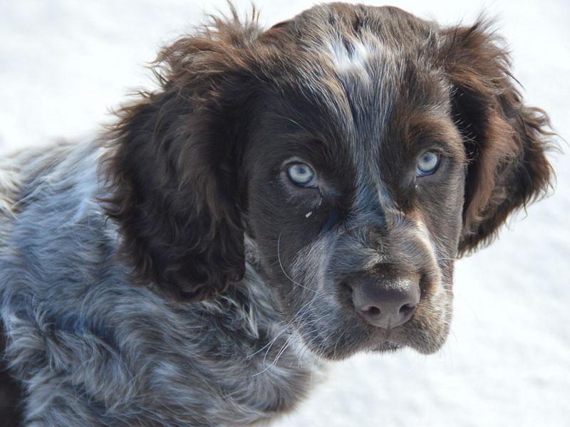 Deutscher Wachtelhund welpen kaufen preis zucht - Hunde123.de Hunderassen