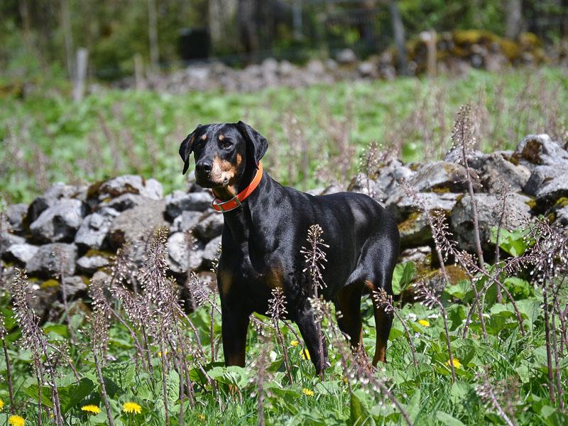 Dobermann charakter wesen bilder - Hunde123.de hund hunderasse