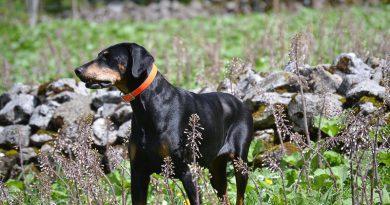 Dobermann bilder - charakter profil Hunde123.de
