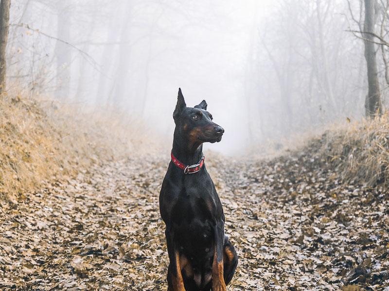 Hunderasse Dobermann charakter wesen - Hunde123.de