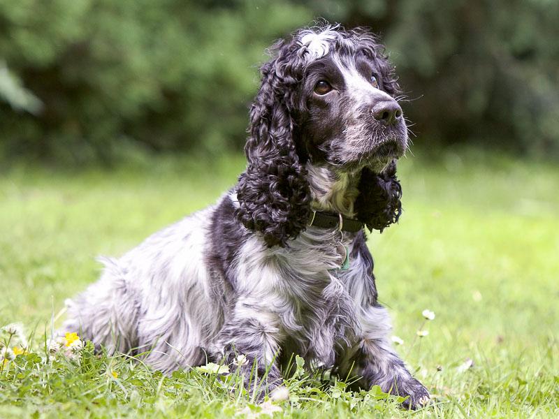 hund cocker spaniel schwarz farben - Hunde123de