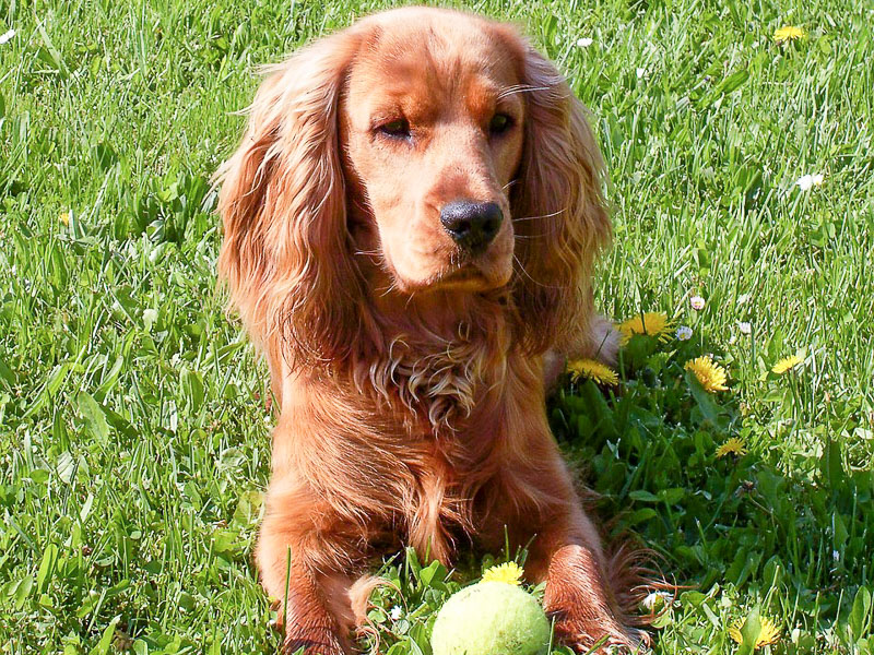 english cocker spaniel wesen - Hunde123.de