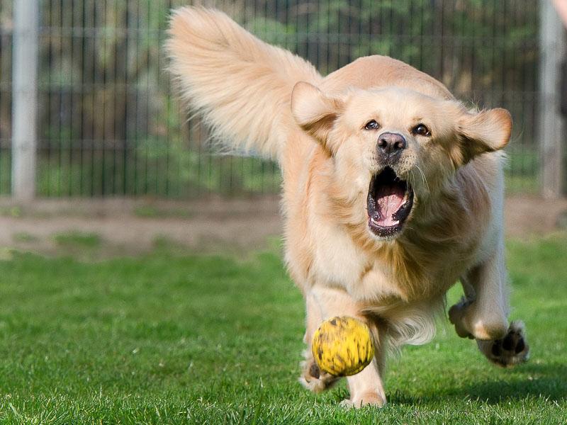 Golden Retrieber Apportierhund - Hunde123.de