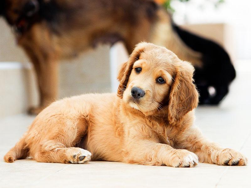 Golden Retriever Welpe - Hunde123.de