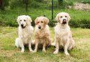 golden retriever erziehung auslauf bilder - Hunde123.de