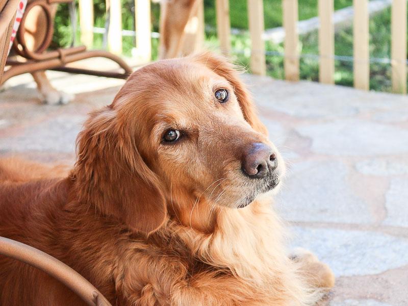 golden retriever aufzucht zucht bilder - Hunde123.de