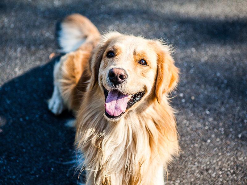golden retriever hunde haltung auslauf - Hunde123.de