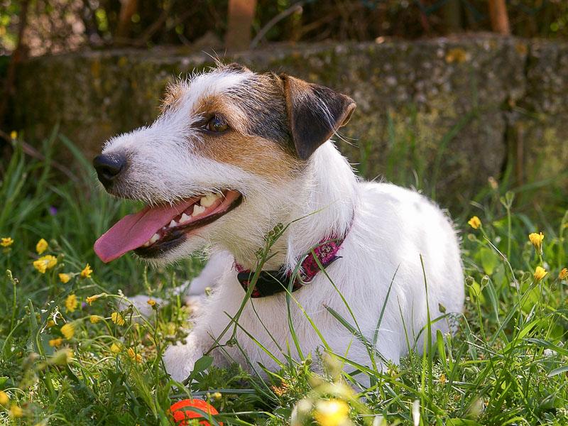 Jack russell terrier erziehung - Hunde123.de