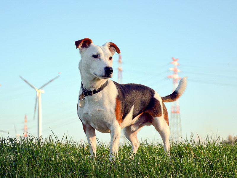 jack-russell größe hunde - Hunde123.de