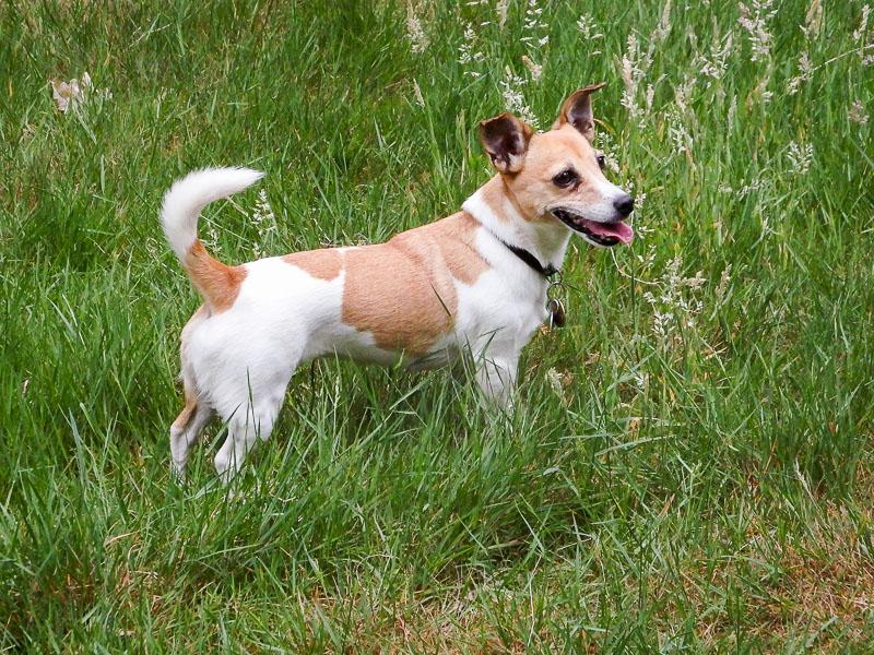 jack russell terrier eigenschaften bilder - Hunde123.de