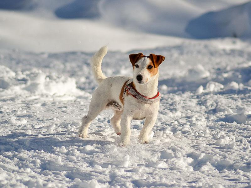 wie alt werden jack russell terrier wesen - Hunde123.de