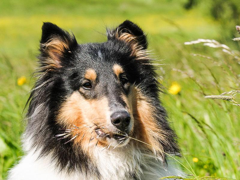langhaarcollie charakter wesen - Hunde123.de Hunderassen