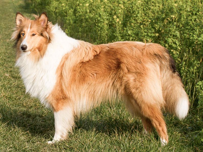 collie lassie bilder haltung - Hunde123.de Hunderassen