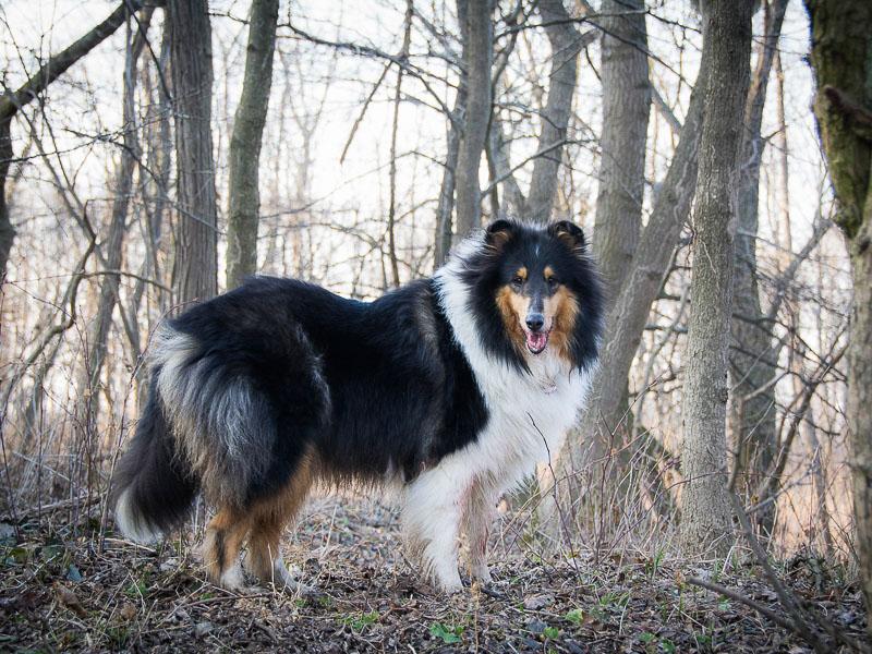 Langhaarcollie wesen erziehung familienhund - Hunde123.de