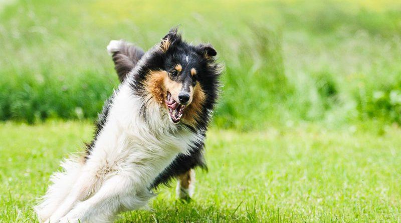 langhaarcollie hundeprofil mit bildern - Hunde123.de Hunderassen