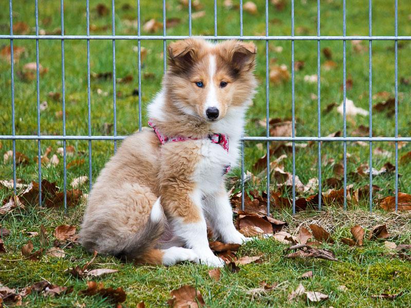 langhaarcollie welpen kaufen - Hunde123.de Hunderassen