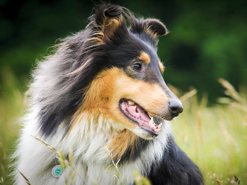 Hunderasse Collie Langhaar Information kaufen - Hunde123.de Hunderassen